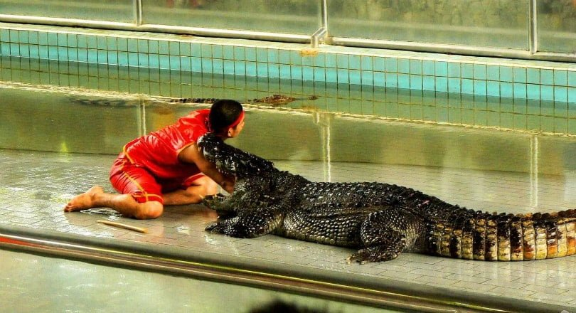 Crocodile farm in Pattaya
